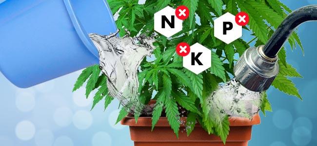 Wie Man Cannabispflanzen Spült