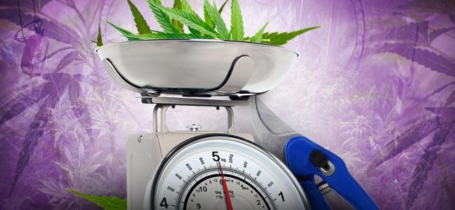 Cannabis-Entlaubung: WIE VIEL IST ZU VIEL?