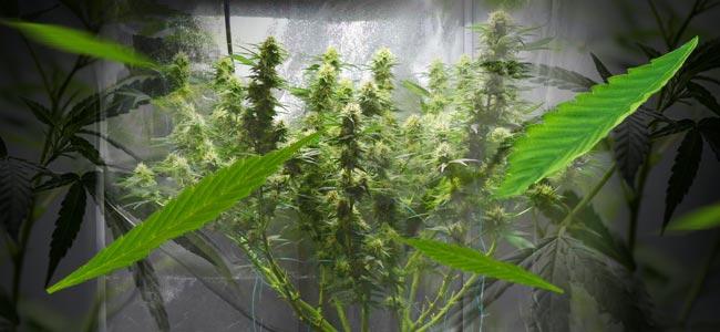 Entlaubungstechniken erhöhen die Ernten der Cannabisanbauer