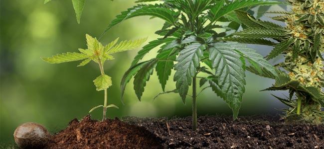 Der Lebenszyklus Von Cannabis