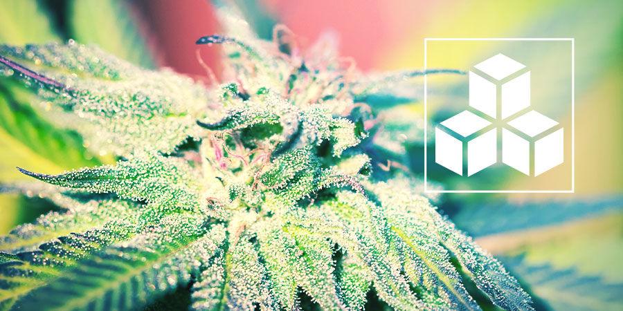 Zuckerverbindungen Beim Cannabisanbau