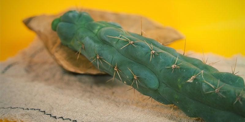 Echinopsis zamnesiana