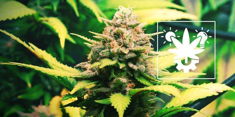 Tipps Für Den Anbau Von Autoflowering Cannabis Drinnen Und Draußen