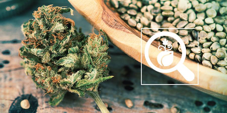 Cannabis-Seedfinder: Wähle Die Besten Cannabissamen Aus
