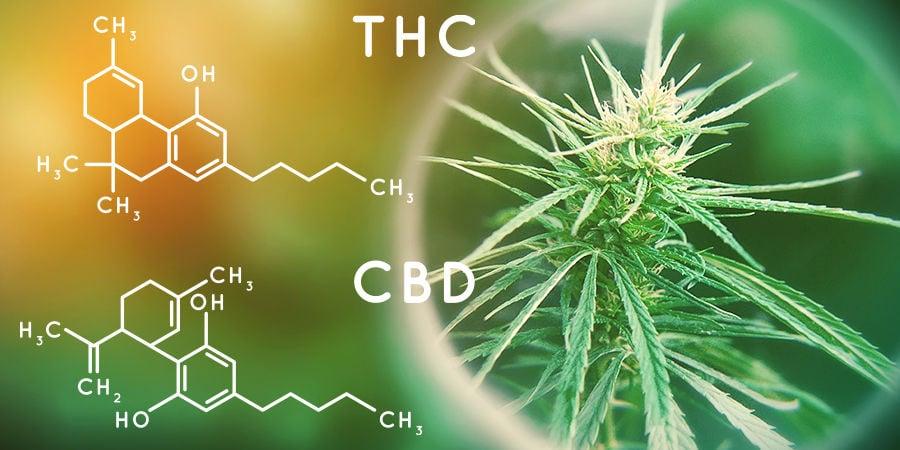 Cannabis-Seedfinder: Cannabinoid-Gehalt