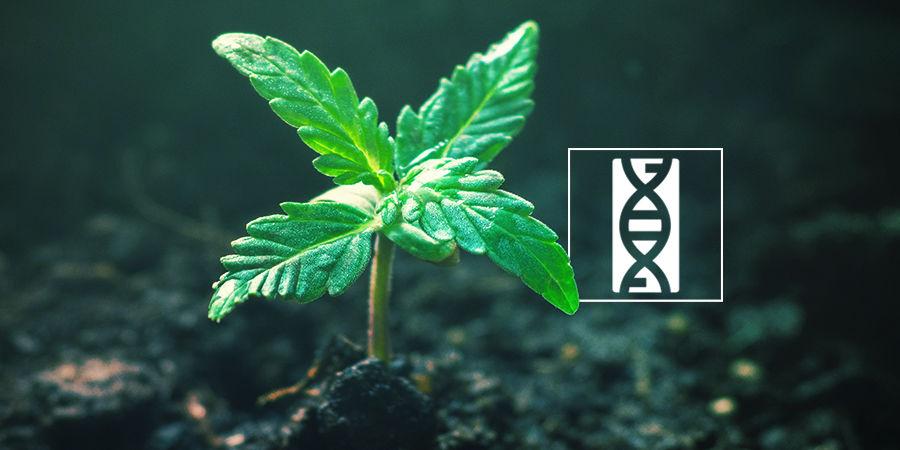 Cannabis-Seedfinder: Genetik Der Cannabissamen
