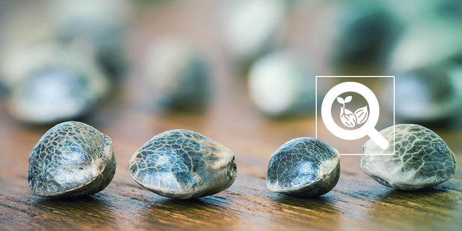 Cannabis-Seedfinder: Art Der Cannabissamen