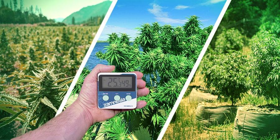 Cannabis-Seedfinder: Klima