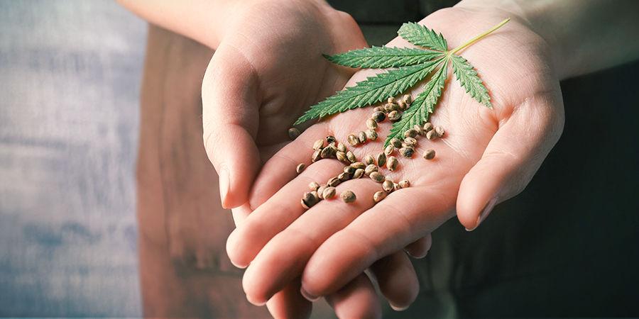 Wie Man Die Besten Cannabissamen Findet