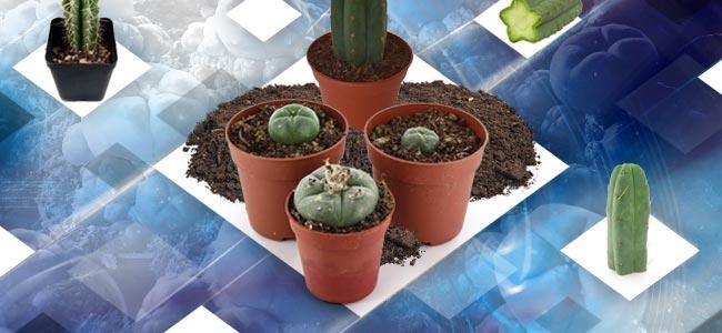Ableger Eines Meskalin-kaktus Anbauen