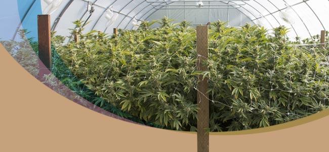 Cannabis In Einem Gewächshaus