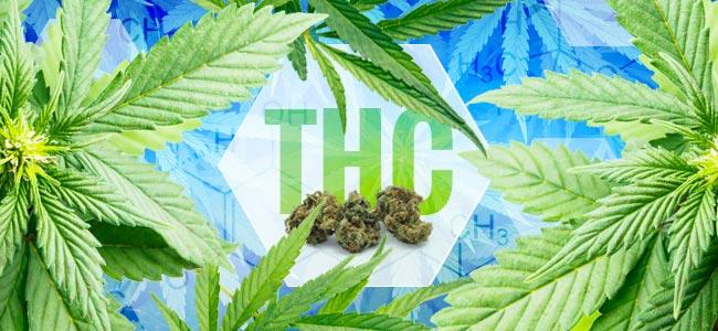 Wann Wurde THC Entdeckt?