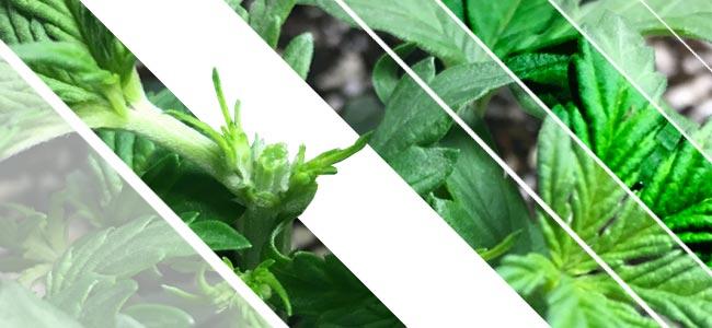 Cannabispflanzen Kappen