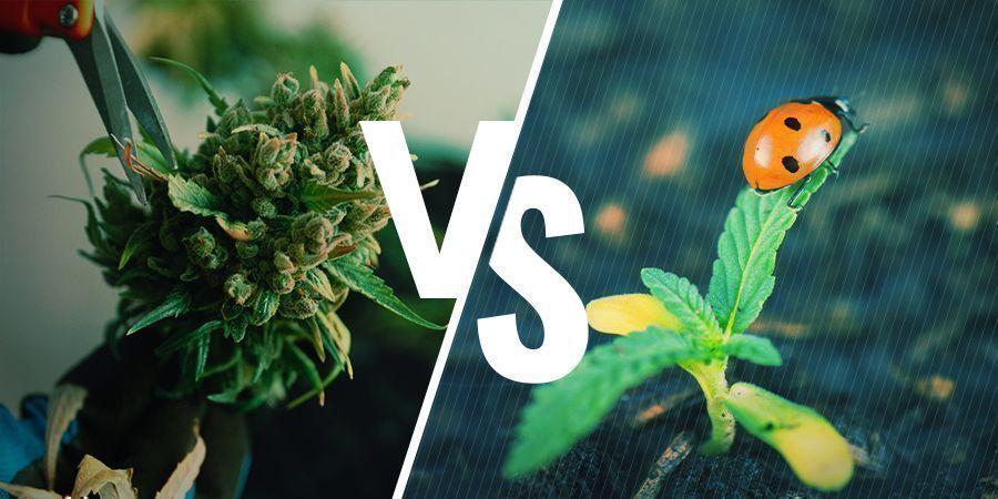 Vor- Und Nachteile Der Regenerierung Von Cannabispflanzen