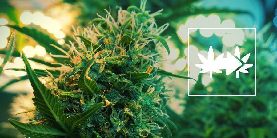 Cannabisklone