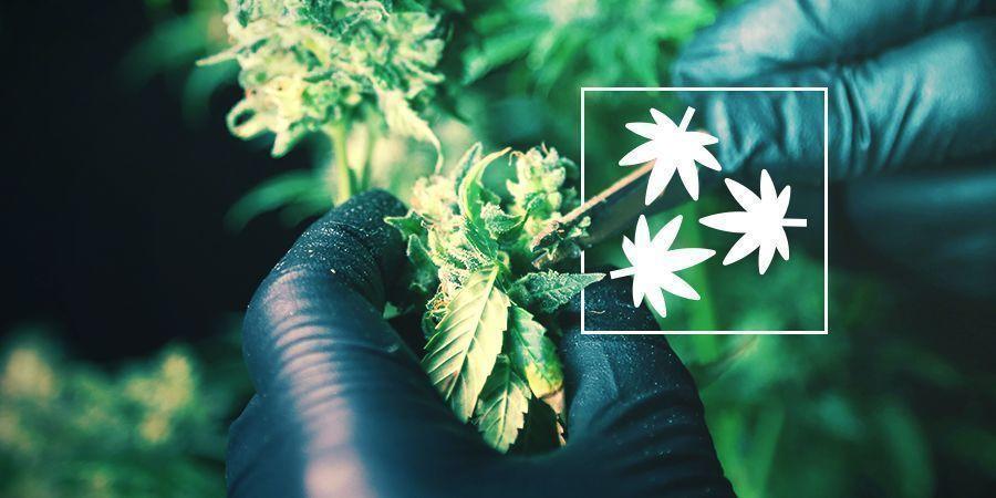 Cannabis-Entlaubung: Alles was Du wissen musst