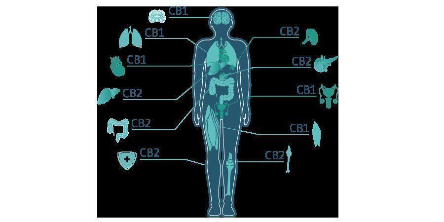CBD Molekül