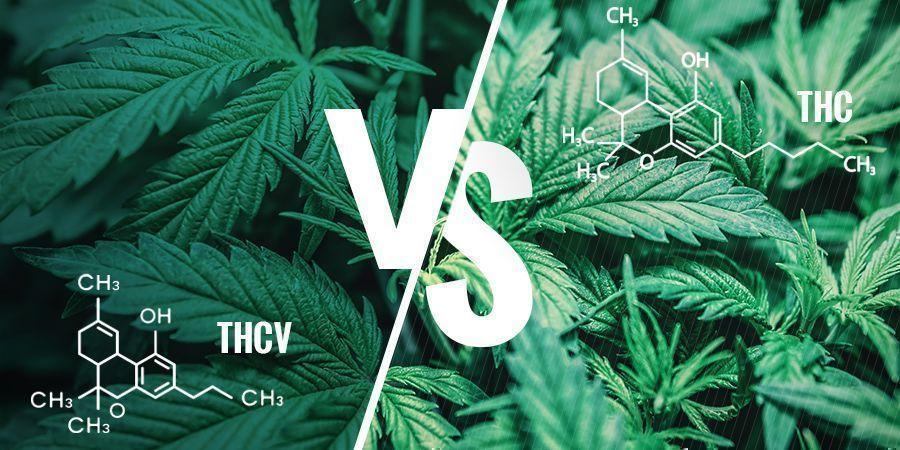 THCV vs. THC: Was sind die Unterschiede?