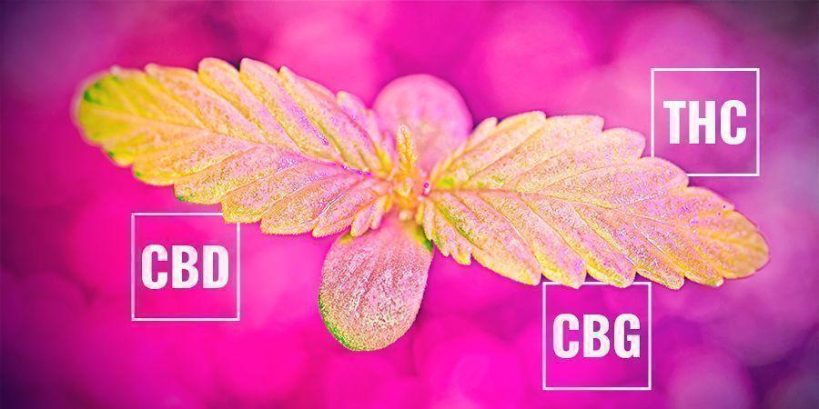 Wie Die Photosynthese-Rate Womöglich Den Cannabinoid-gehalt Beeinflusst
