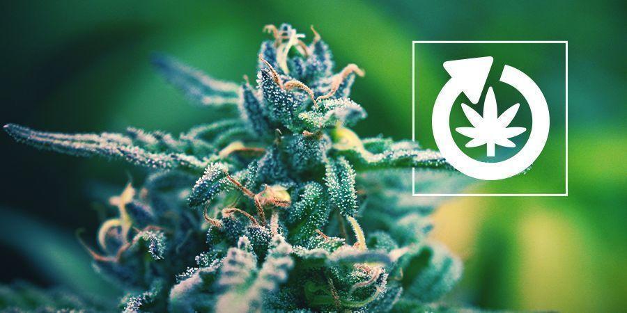 Der Lebenszyklus Der Cannabispflanze