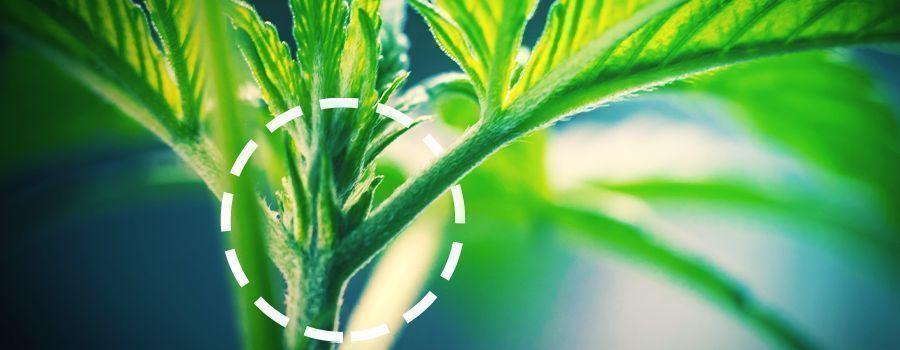 MÄNNLICH UND WEIBLICH cannabis