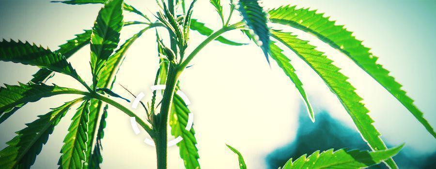 SPROSSKNOTEN cannabis