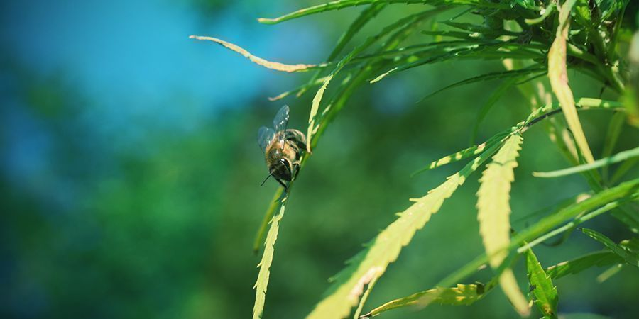 Cannabispflanzen: Bestäubung