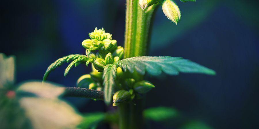 Männliche Cannabispflanzen