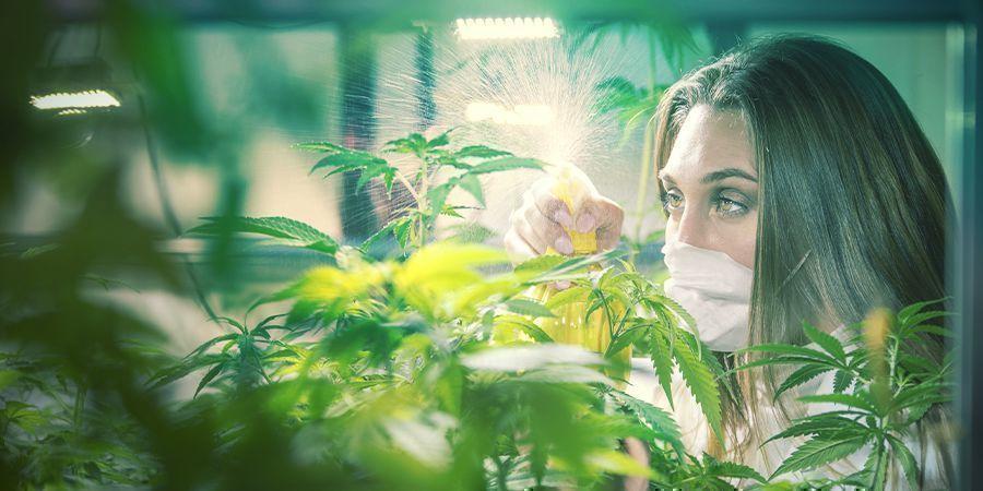 Professionelle Cannabis Züchter