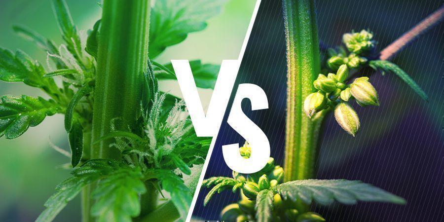 Cannabispflanzengeschlecht: männliche vs. weibliche Pflanzen