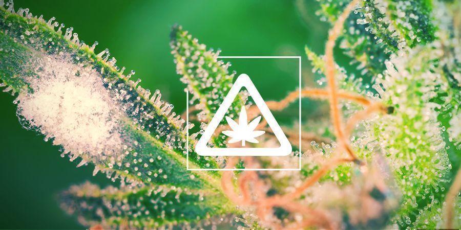 Häufige Probleme Im Cannabisgarten