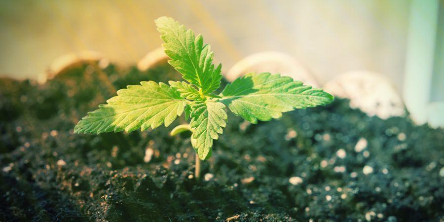 Ist Es Möglich, Autoflowers Ohne Nährstoffe Anzubauen?