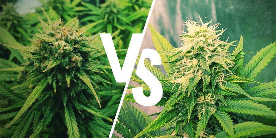 Erhöhung des Ertrags Deiner autoflowering vs. photoperiodischen Pflanzen