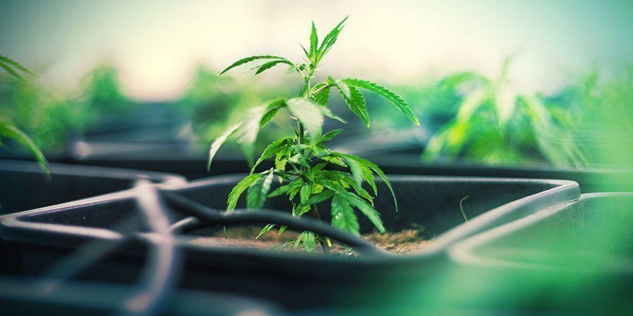 Kunststofftöpfe Cannabis