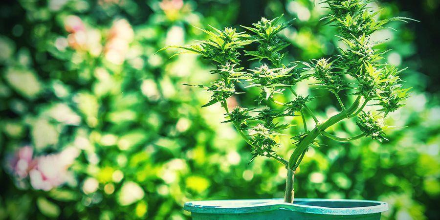 Tipps Für Den Anbau Von Cannabis In Töpfen