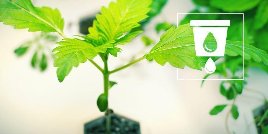 Anbau Von Cannabis In Hydrokultur