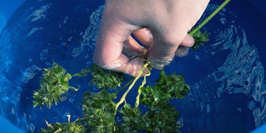 Cannabis Bud Washing: Schritt-Für-Schritt-Anleitung