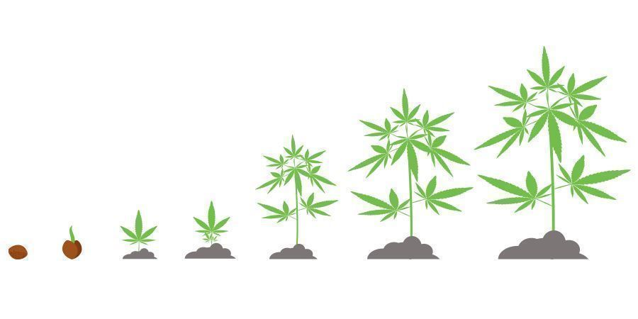 Zeitplan Cannabis