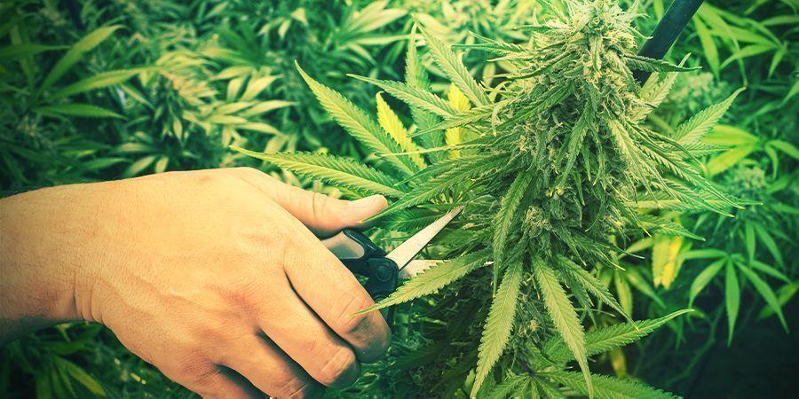 Beschneiden Cannabis