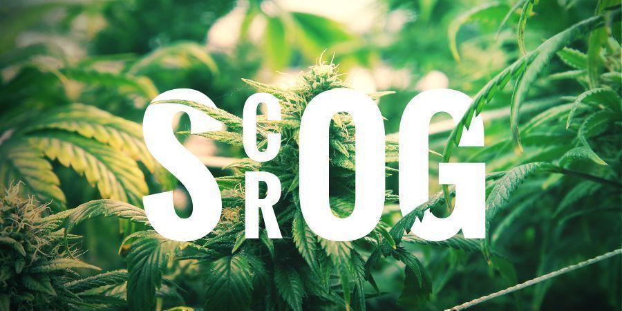 SCROG – SCREEN OF GREEN