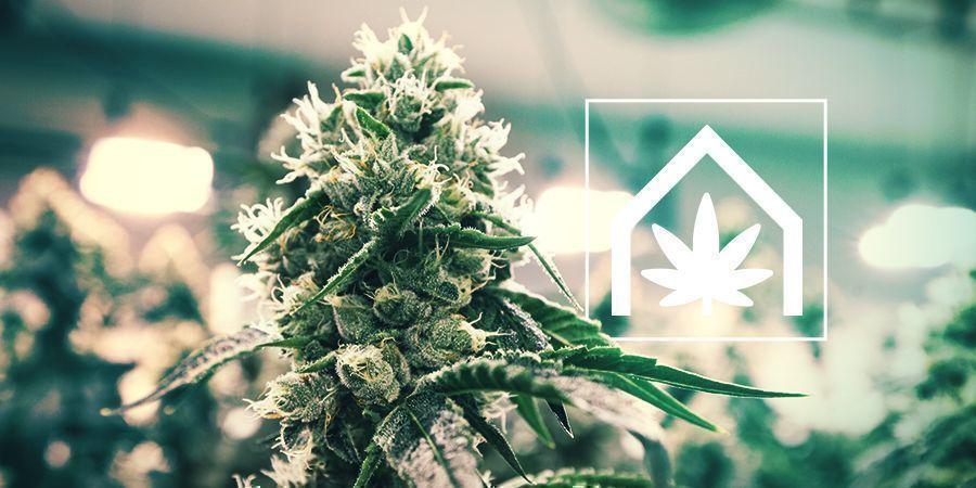 Cannabisanbau Im Grow Room