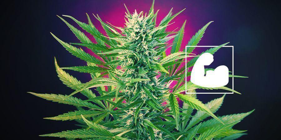 Warum brauchen Cannabispflanzen Kalzium?