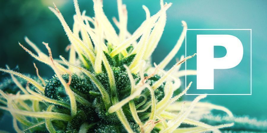Phosphor Und Cannabis Anbau