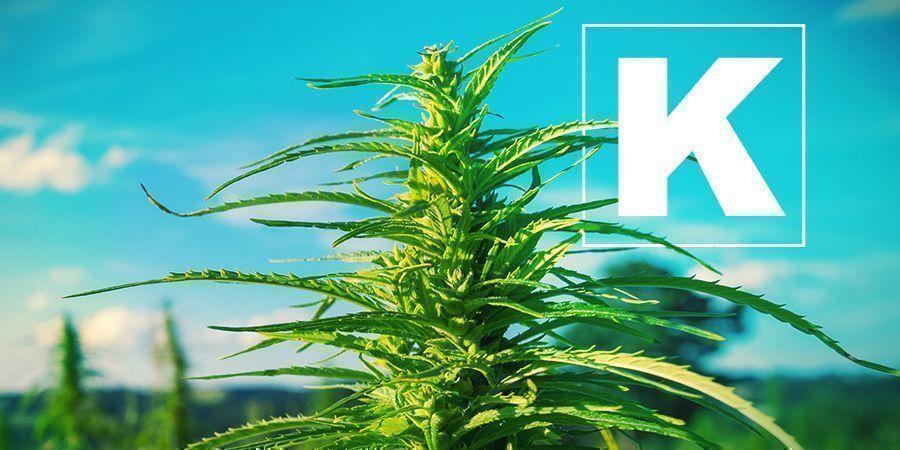 Kalium Und Cannabis Anbau