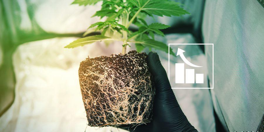 Warum benötigen Cannabispflanzen Schwefel?