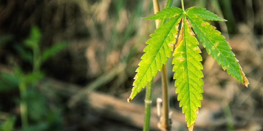 Wie man Probleme mit dem NPK-Verhältnis bei Cannabis erkennt