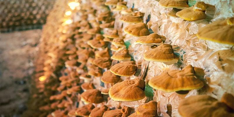 Wie wird Pilztinktur kommerziell hergestellt?