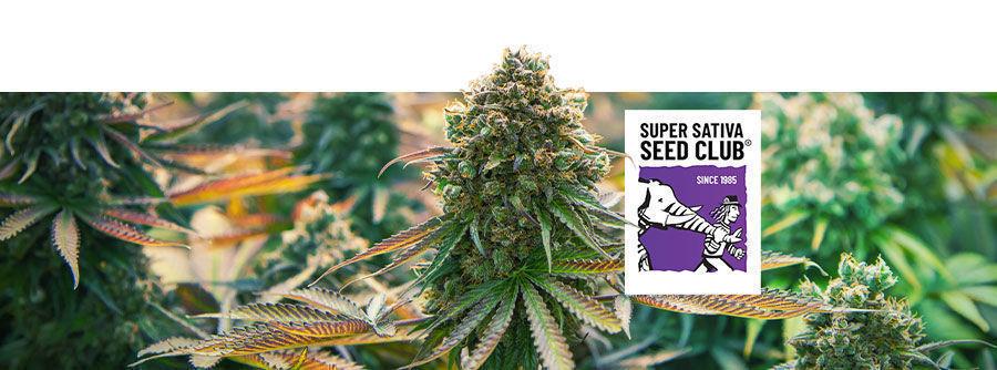Informationen über den Super Sativa Seed Club
