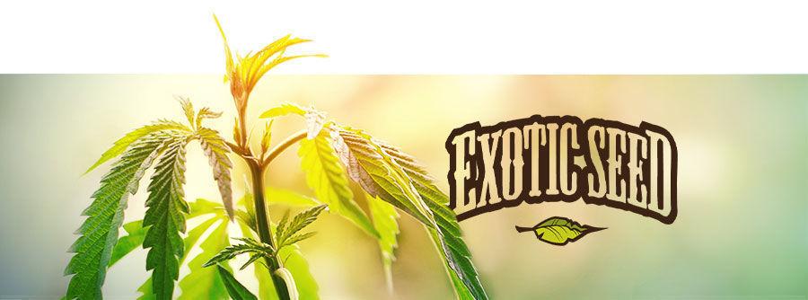 Exotic Seed - Cannabis Samen