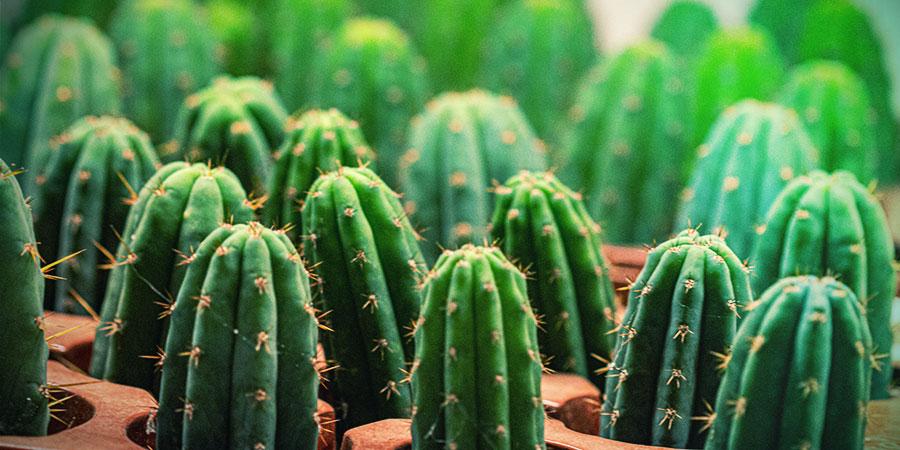 Die Einfache Methode, Einen Ableger Eines Meskalin-Kaktus Anzubauen